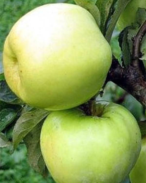 Antaninė obelis