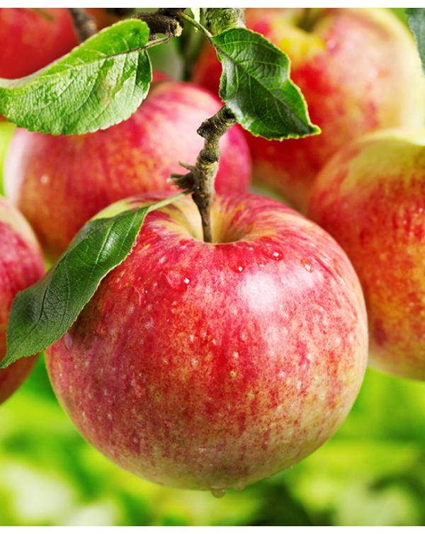 Avietinė obelis